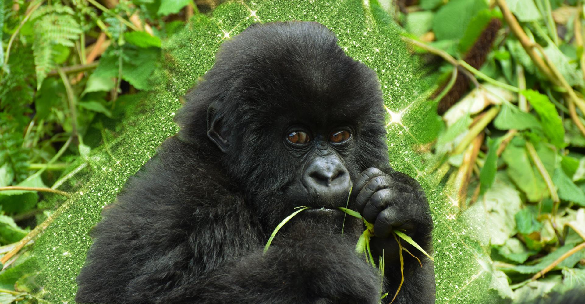 Al Bwindi Impenetrable Forest, sulle tracce dei gorilla di montagna
